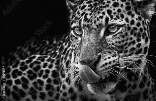 Aluminium Panter Leopard portrait on dark background. Panthera pardus kotiya, predator licked