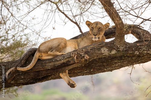 Fotobehang Lion Eine Löwin ruht sich im Geäst eines großen Baumes aus.