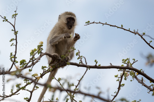 Aluminium Aap Kleiner Affe - Tarangire Nationalpark - Tansania - Afrika