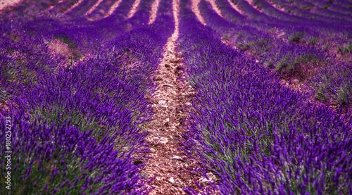 Papiers peints Lavande Lavender fields in France