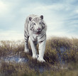 White Tiger in the Grassland
