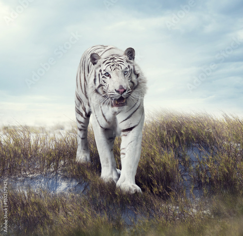 Aluminium Tijger White Tiger in the Grassland