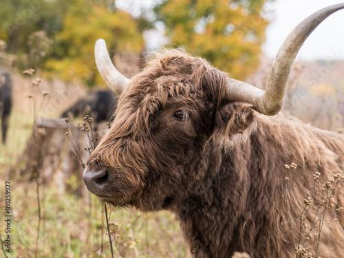 Aluminium Bison scottish highland cow