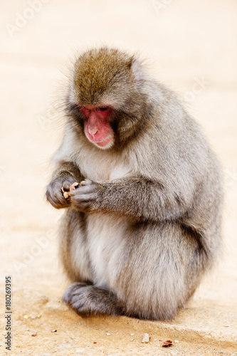 Aluminium Aap A monkey in the wild sits and eats
