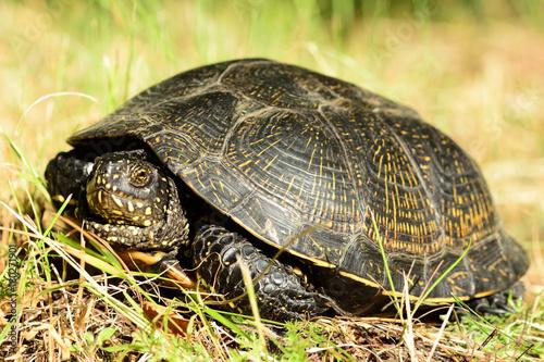 Fotobehang Schildpad Żółw błotny