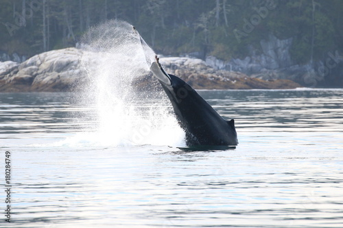 Tail slapping Humpback whale at Vancouver Island - 180284749