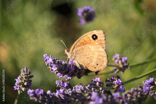 Fotobehang Vlinder Maniola jurtina on Violet Flowers