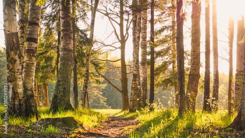 Papiers peints Bosquet de bouleaux Landscape with birch trees, sun and grass.