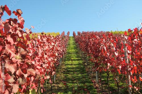 Plexiglas Wijngaard Verfärbtes Weinlauf in den Weinbergen in Esslingen