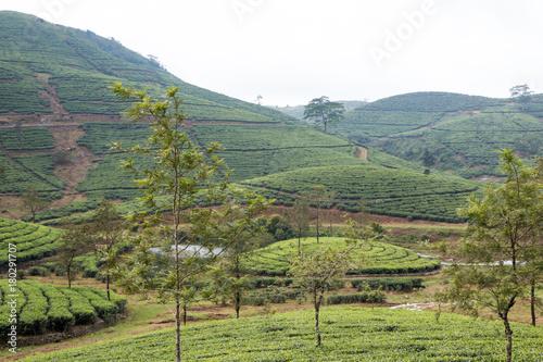 Papiers peints Pistache Kerala Tea Plantation