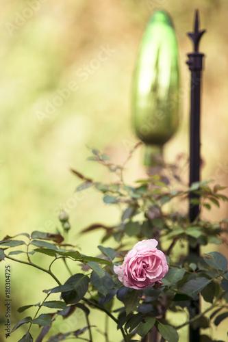 Foto Murales Die Schönheit der Rose