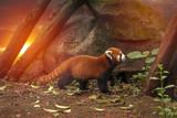 Red panda - 180319791