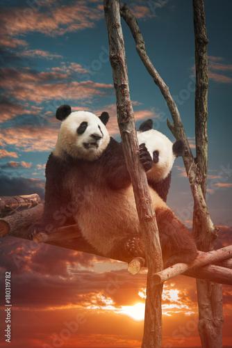 Plexiglas Panda Big panda