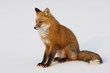 Winter Red Fox in Whitehorse, Yukon, Canada
