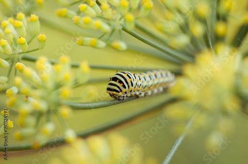 Fotobehang Vlinder Swallowtail caterpillar or papilio machaon