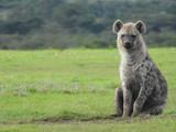 Sitting Hyena