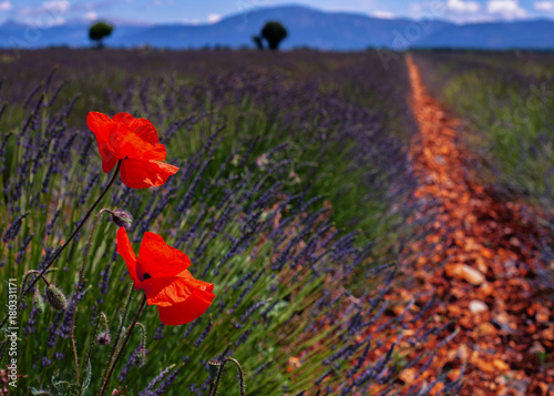 Foto op Plexiglas Klaprozen Lavande and poppies
