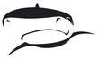 requin nageant de face en noir et blanc - 180331589