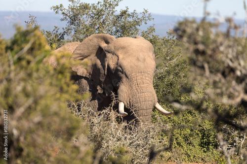 Afrikanischer Elefant in der Steppe Poster