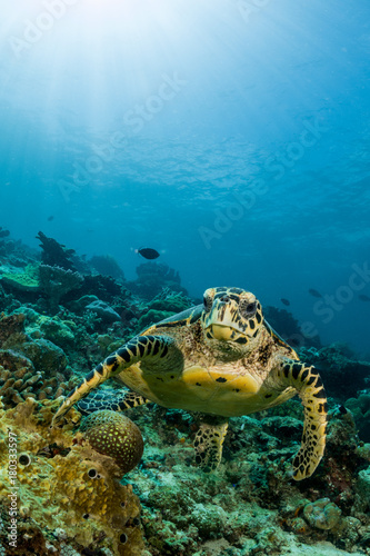 Poster Water planten loggerhead turtle swimming over a coral reef with sun rays
