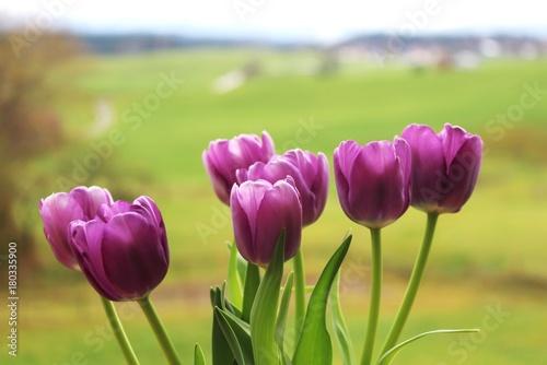 Fotobehang Tulpen Violette Eistulpen vor unscharfem Landschafts-Hintergrund