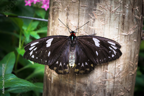 Fotobehang Vlinder The butterfly with black wings with white spots birdwing Ornithoptera priamus female is sitting on wood fence in Kuranda, Cairns, Australia.