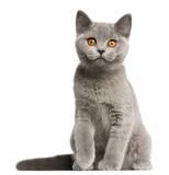 British Shorthair kitten (3 months old), British Shorthair kitten (3 months old), British Shorthair kitten (3 months old)