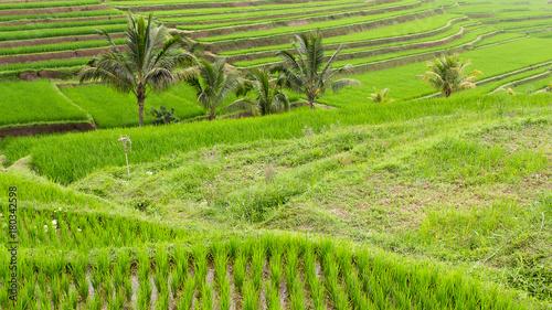 Papiers peints Pistache Pola ryżowe Indonezja