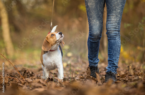 Girl walking her Beagle Dog Poster