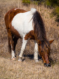 Assateague Wild Pony, White and Brown, Grazing, Full - 180349982