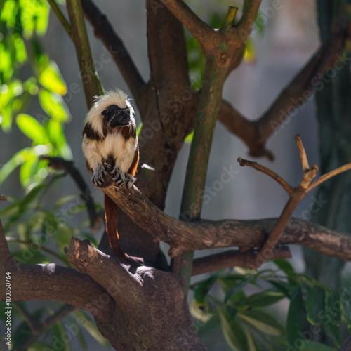 Aluminium Aap monkey tamarin sitting on a tree