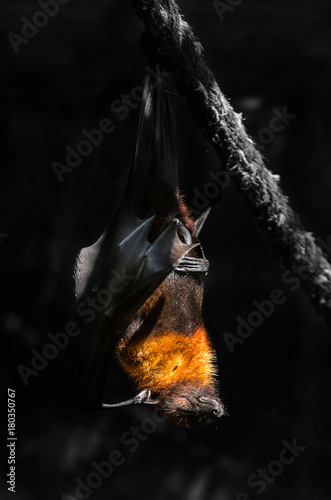 flying foxes in the wild nature Poster