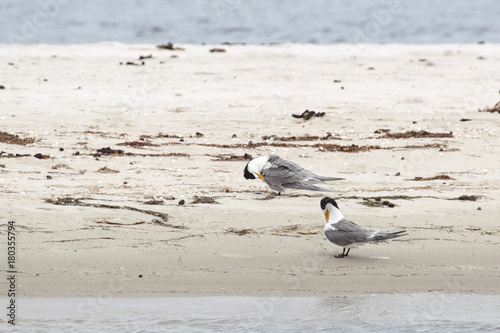 Foto op Canvas Noordzee Eilseeschwalben (Thalasseus bergii) sitzen am Ufer des Lake King in Lakes Entrance, Victoria, Australien.