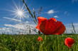 canvas print picture - corn poppy at a sunny day
