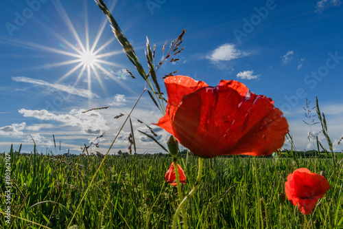 canvas print picture corn poppy at a sunny day