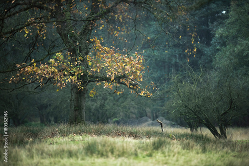 Old tree with autumn foliage in field.