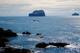 Oiseau en plein vol en Islande, île vestmann