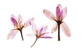 dry crocus flowers - 180378137