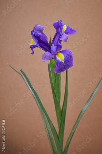 Fotobehang Iris nice iris flower