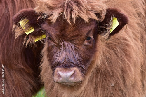 Highland cattle - Scottish cattle breed плакат