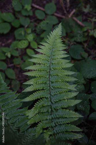 isolierte Farn Blatt mit unscharfen Wald Hintergrund  - 180382544