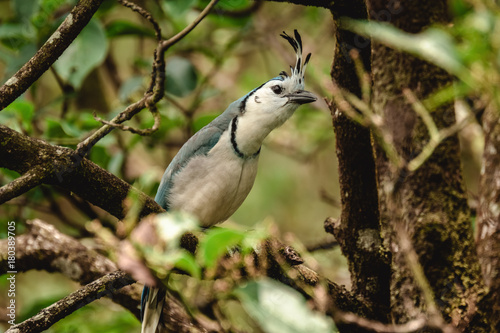 White throated magpie jay on the branch in the tropical forest Poster