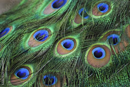 Fotobehang Pauw Peacock feathers. closeup. 01