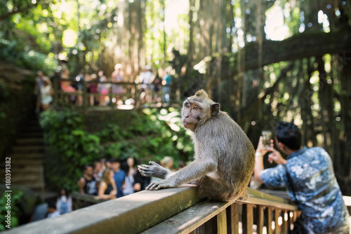 Keuken foto achterwand Bali Monkey Forest - Ubud - Bali