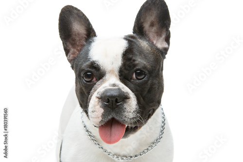 Deurstickers Franse bulldog french bulldog dog isolated on white background