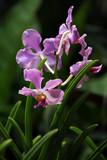 Fototapety Orchideen-Hybride Papilionanda David Cameron
