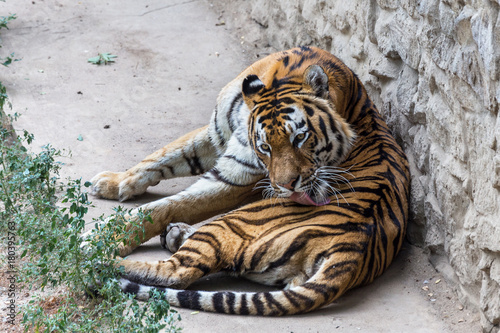 Ussuri Bengal tiger in a cage zoo created natural habitat Poster