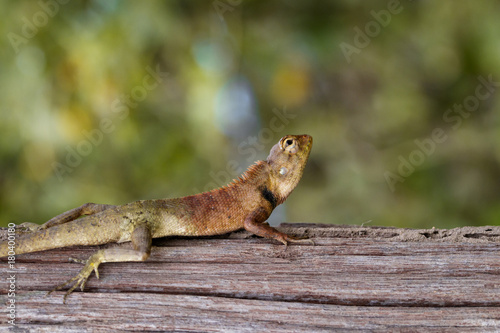 Aluminium Kameleon Image of chameleon on the tree on nature background. Reptile