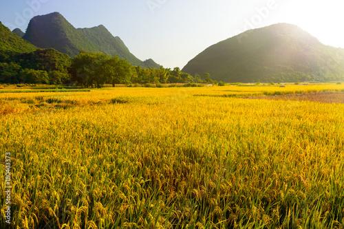 Fotobehang Oranje golden paddy field in Guilin China