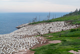 Northern Gannets colony in Bonaventure Island, Quebec, Canada - 180404933